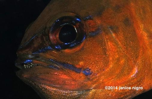 cardinal fish with eggs copyright