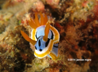 chromodoris closeup copyright
