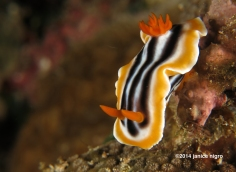 chromodoris G 4462 copyright