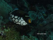 clown trigger fish RA 3258