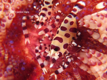 coleman shrimp K 4957 copyright