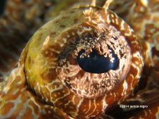 croccodile fish eye G 3843 copyright