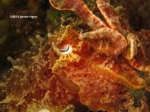 cuttlefish K 4751 copyright