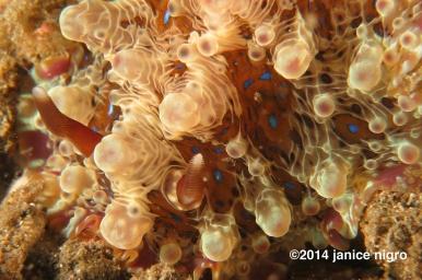 dendoris nudibranch K2 4913 copyright