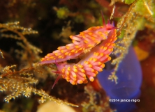 flabellina pair G 4249 copyright