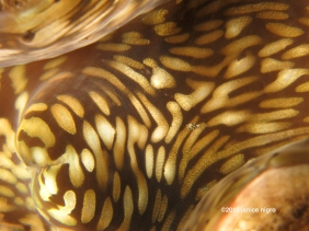giant clam K 5955 copyright