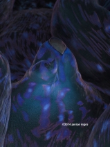 giant clam RA 2826 copyright