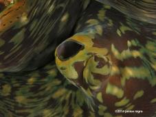 giant clam RA 2828 copyright