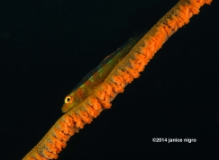 goby bon whip coral copyright
