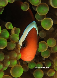 green bubble anemone fish 8080 copyright