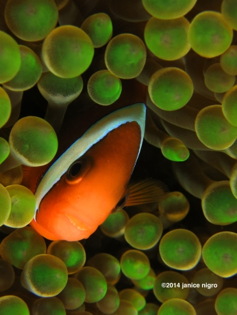green bubble anemonefish 8072 copyright