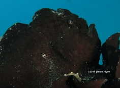 hitchcock aka black frogfish G 3439 copyright