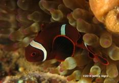 juvenile anemonefish K 5956 copyright