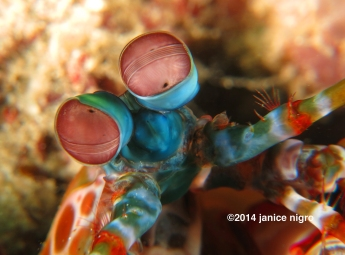 mantis shrimp eyes G 4676 copyright