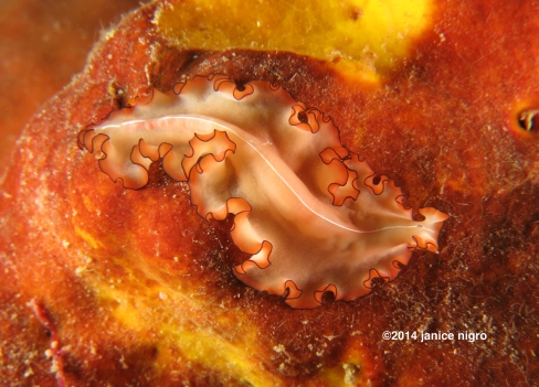 orange flatworm RA 3049 copyright
