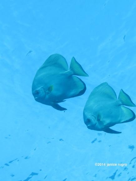 spade fish RA 3096 copyright