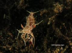 spiny tiger shrimp K 5092 copyright