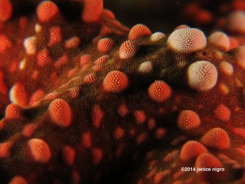 starfish RA 2809 copyright