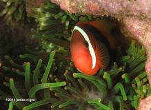 tomato anemone fish RA 2907 copyright