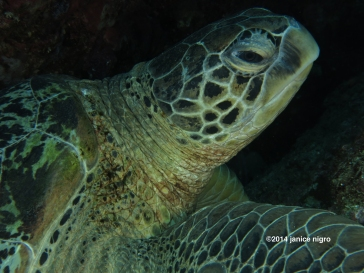 turtle G 4403 copyright