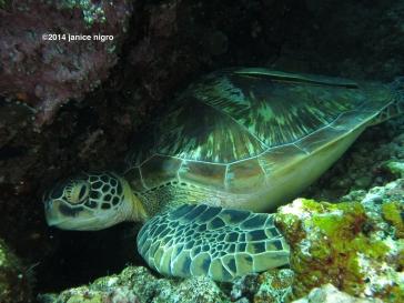 turtle G 4428 copyright