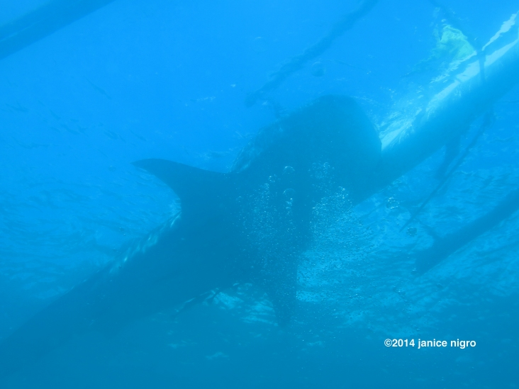 whale shark 7687 copyright