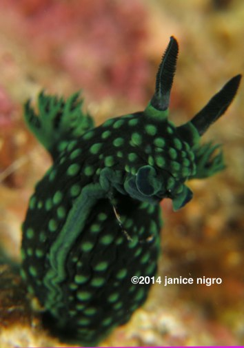nembrotha low resolution copyright