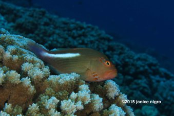hawaiian fish 8570 adjusted copyright 2015