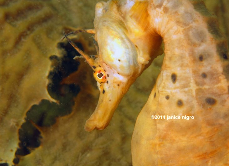 tasmanian pot bellied seahorse 2 copyright low resolution
