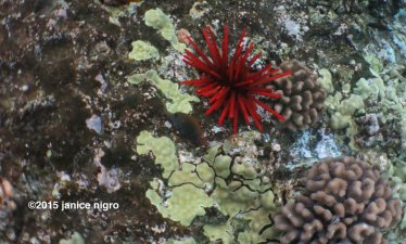 sea urchin 8685 copyright
