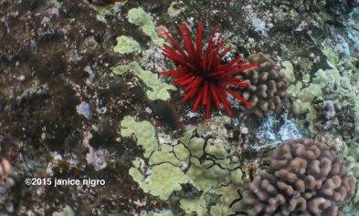 sea urchin 8685 copyright