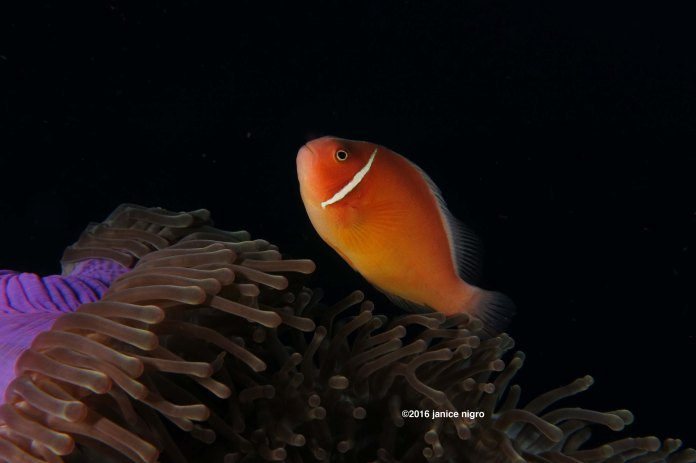 Skunk anemone fish flying high over a purple magnificent anemone in Raja Ampat.