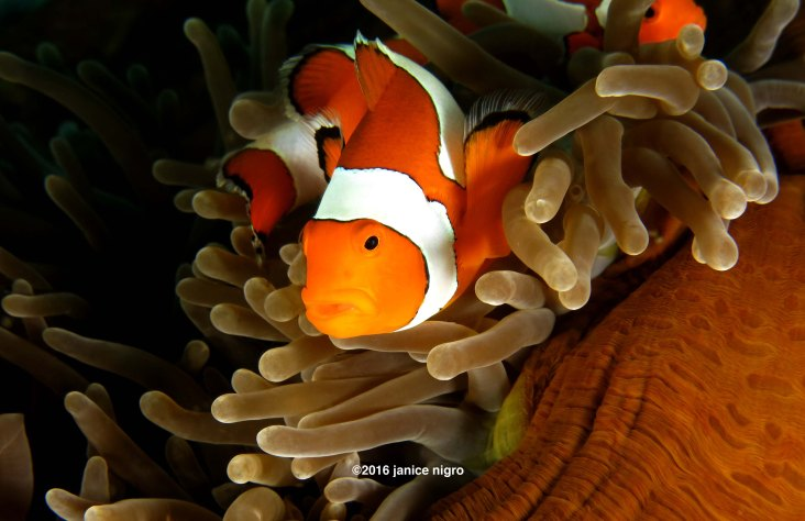 anemonefish cropped 9254 copyright