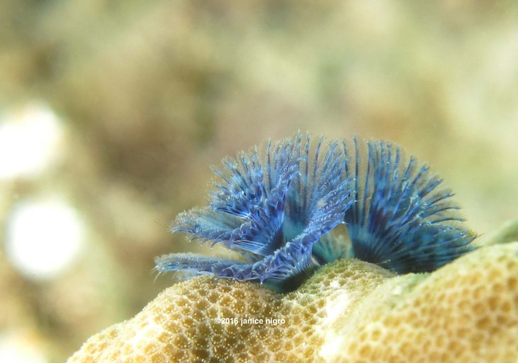 christmas tree worm 9009 copyright