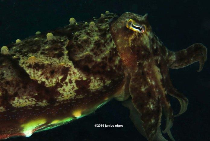 cuttlefish 9047 copyright