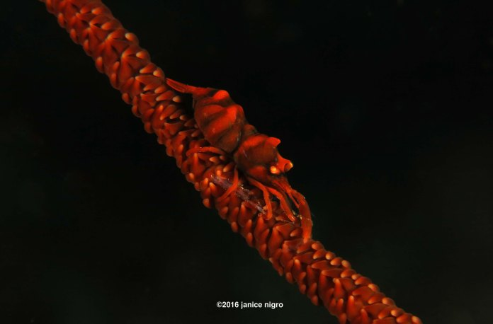 whip coral shrimp cropped 0110 copyright