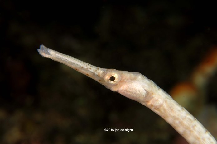 white pipefish 9894 copyright