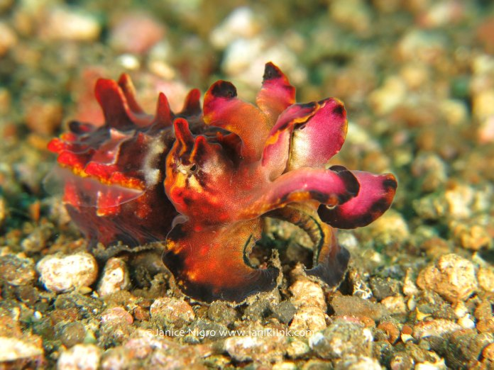 flamboyant cuttlefish 5282 copyright
