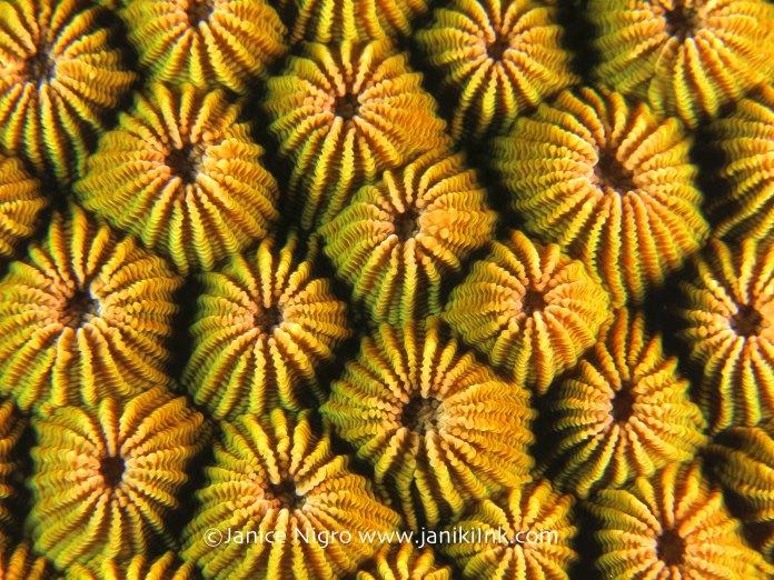 hard coral 6711 copyright