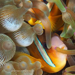 15 Clark anemone fish captured in Alor, Indonesia