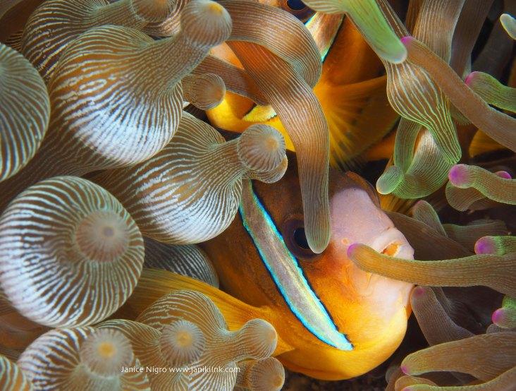 15 Clark anemone fish captured in Alor, Indonesia