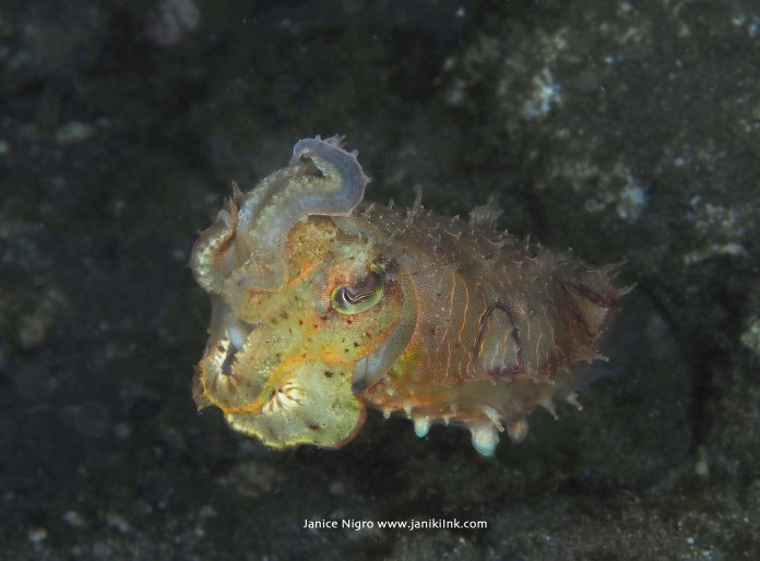 Cute cuttlefish photographed on a night dive in Alor, Indonesia
